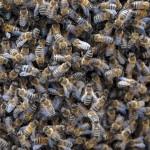Bienen1